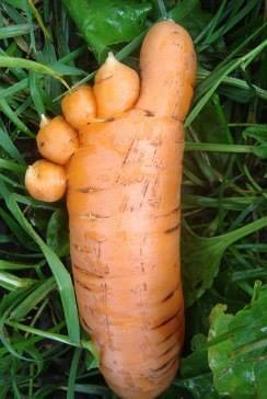 Orange carrot - this is what happens in rocky ground - carrots like sandy soil