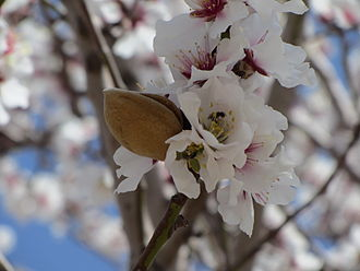 almond blossoms and fruit - this just doesn't grow around here