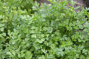 Parsley_bush