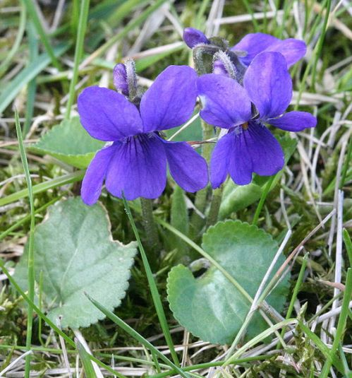 Violets are edible, as are their heart shaped leaves
