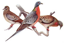 Passenger Pigeons were the most common pigeon in North America....until 100 years ago....