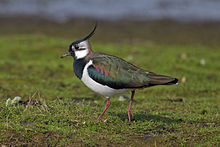The Northern Lapwing is one bird also known as a peewit