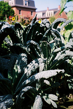 Tuscan or black kale