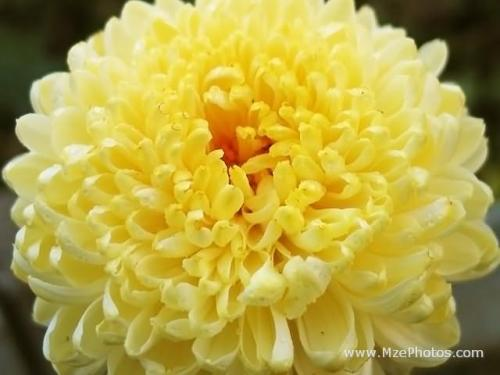 chrysanthemum-yellow a