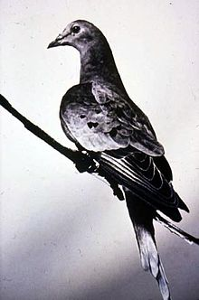 Martha, the last passenger pigeon, 1914