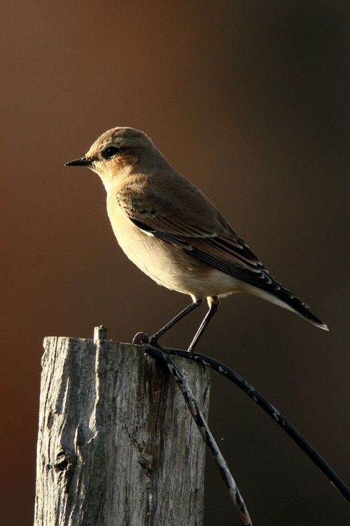 Wheatear - yet another tiny, tasty bird