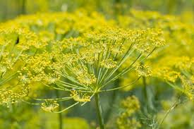 fennel flowering
