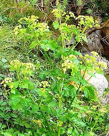 Alexanders (Smyrnium olusatrum) are a kind of wild celery, still found in the English countryside