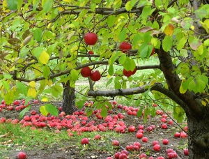 apple tree with apples underneath