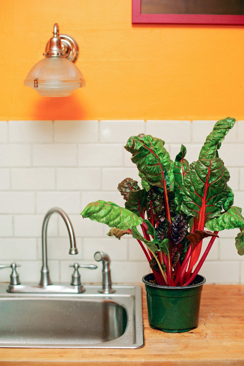 In my dreams Swiss Chard on the counter top....http://www.nytimes.com/2014/11/06/garden/urban-farming-from-countertop-to-table.html?ref=garden&_r=0