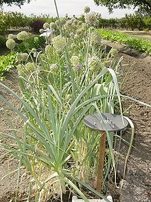 Leeks in the garden - some are flowering and forming seed heads - this is not the optimal time to harvest them. Looks like August to me. If you plant them in September, you can eat them all winter, you just have to wait for the ground to thaw to harvest them. Or plant them in a hoop house. They grow in the cold, just slowly.