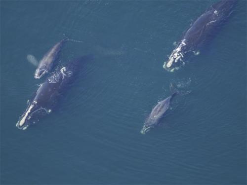 Right Whales right of the coast here - and 17 new baby whales!