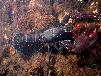 This is a European lobster on the rocks