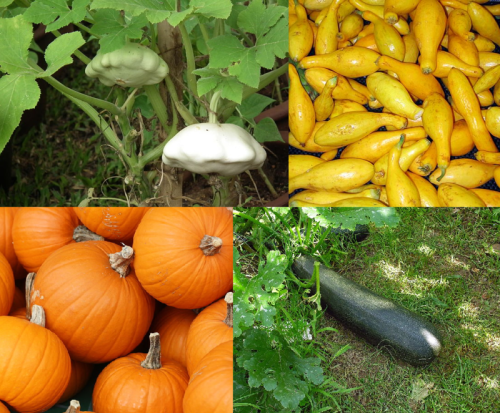 Cucurbita_pepo_collage_1