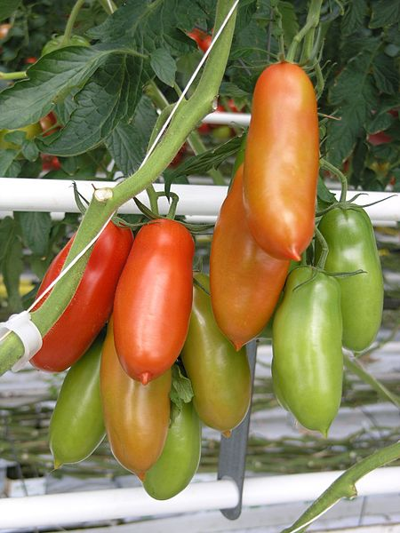 San Marzano tomatoes - kissing first cousins to Roma tomatoes
