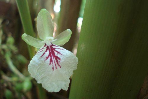 cardamom in flower