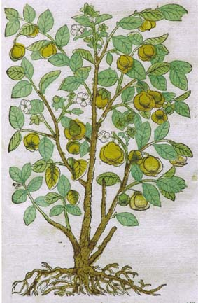16th century quince tree