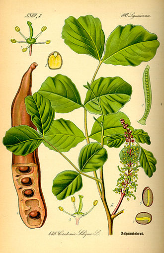 carob tree330px-Illustration_Ceratonia_siliqua0