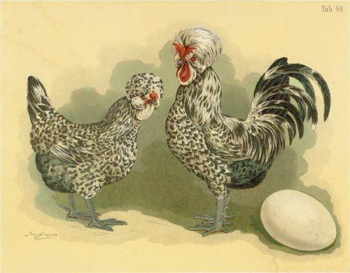 chickenHühner_(Geflügel-Album,_Jean_Bungartz,_1885)