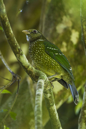 Green_Catbird_-_Lamington_NP_-_Queensland_