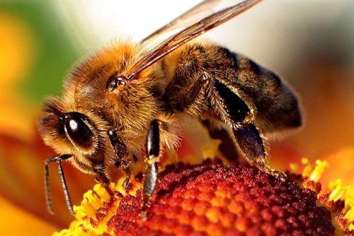 Bee-apis