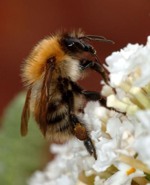 Bumblebee_closeup
