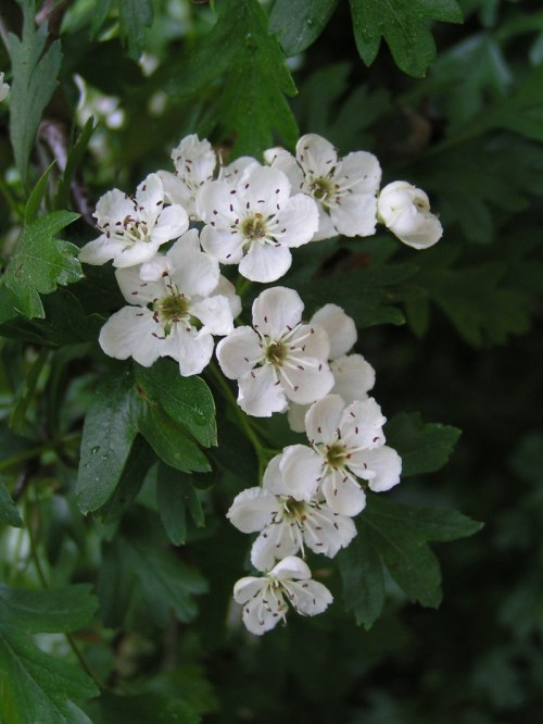 hawthorn_flowers,common