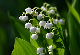 Lily_of_the_valley_777