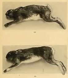 hare Common_and_irish_hare