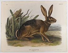 hareBrooklyn_Museum_-_California_Hare_-_John_J._Audubon