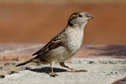 House_sparrow04
