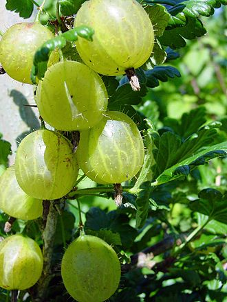 gooseberry-330px-stachelbeeren