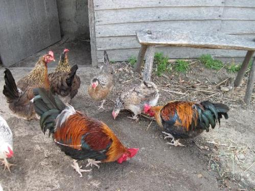 chickens-at-Plimoth-Platation