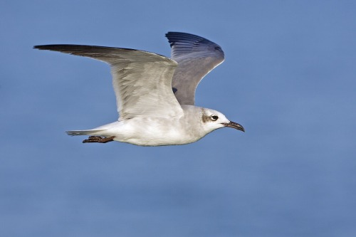 Laughing_gull_-_natures_pics