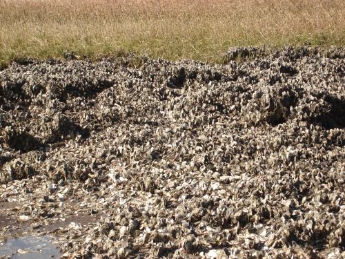 OysterBed(1)
