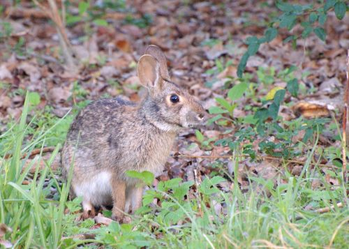 Swamp_Rabbit_(Sylvilagus_aquaticus)